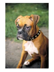 Boxer-Puppy_Picture